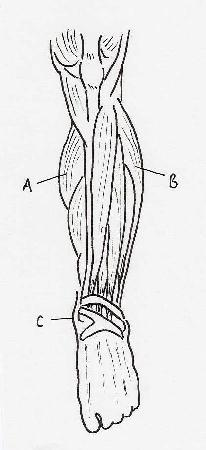 The musculature of the left lower leg